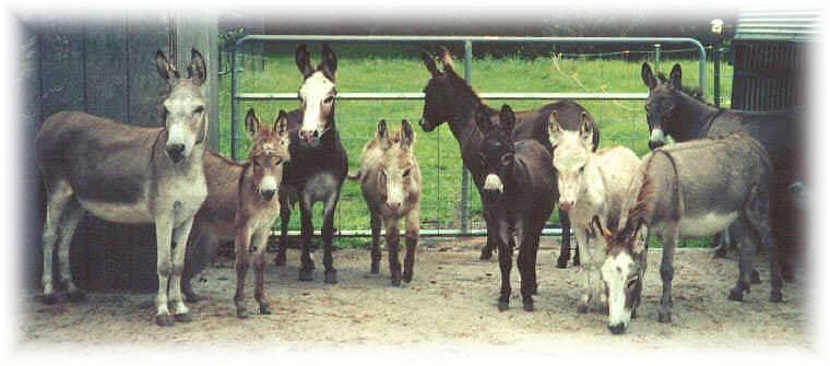 Miniature Donkeys from Sunny G Acres
