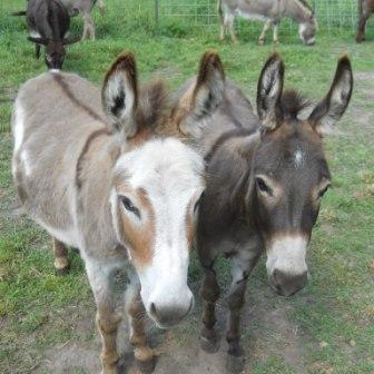 Mini Donkeys for Sale ...