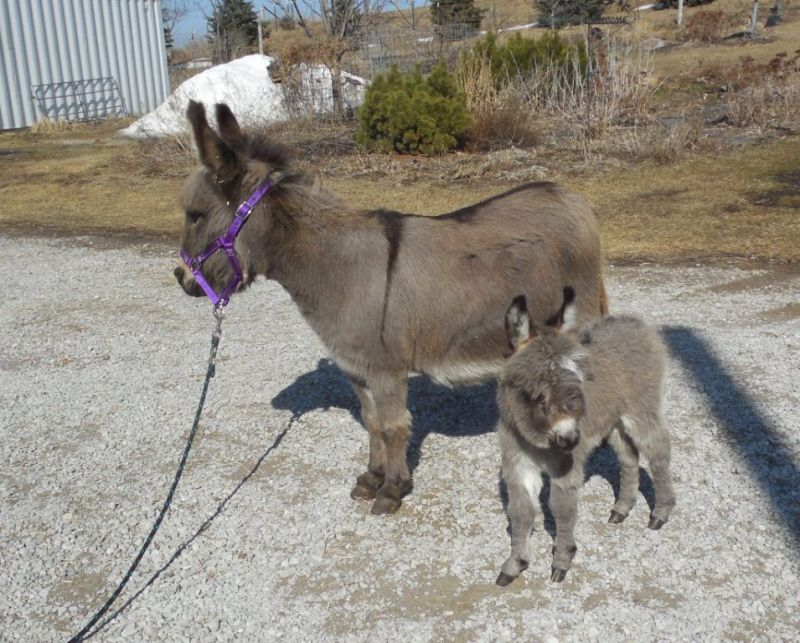 And Male Donkeys Are Called Jacks If Not Being Used For Breeding Purposes They Should Always Be Gelded Especially Around Children Baby