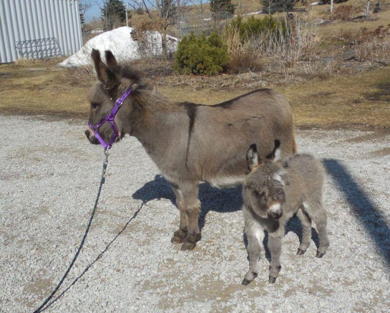 Mini Donkeys for Sale in Iowa - Miniature Donkey Breeder | Sunny G Acres
