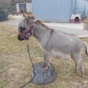 Sunny G's PJ + a donkey friend SOLD to Nebraska