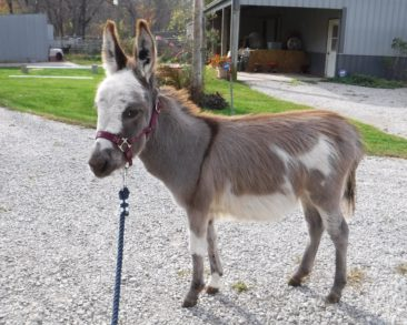 Sunny G's Prancer – SOLD to Illinois