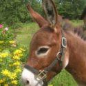 The Elm's Red Satin Doll – 30 3/4″ +4 more donkeys SOLD to Nebraska